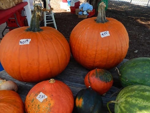 squash and pumpkins in Myrtle Beach