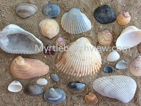 Types Of Shells Found In Myrtle Beach